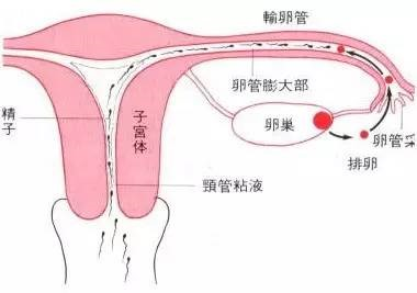 【备孕小常识】怎样让精卵子顺遂相遇? (附优化同房方式)插图4